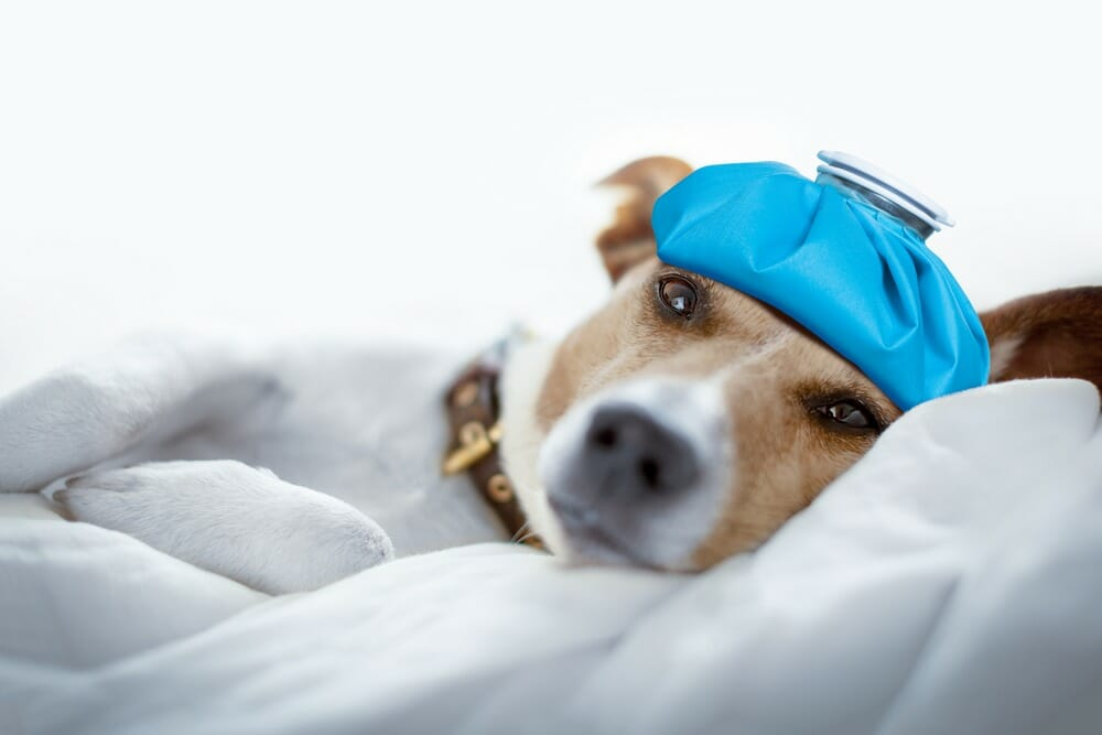 Dogs Suffer From Sensitive Stomach