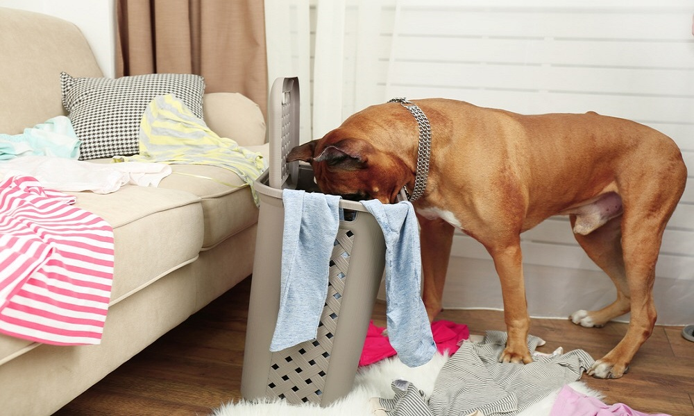 Common Reasons Dogs Eat My Underwear
