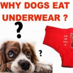 Why Do Dogs Eat Underwear