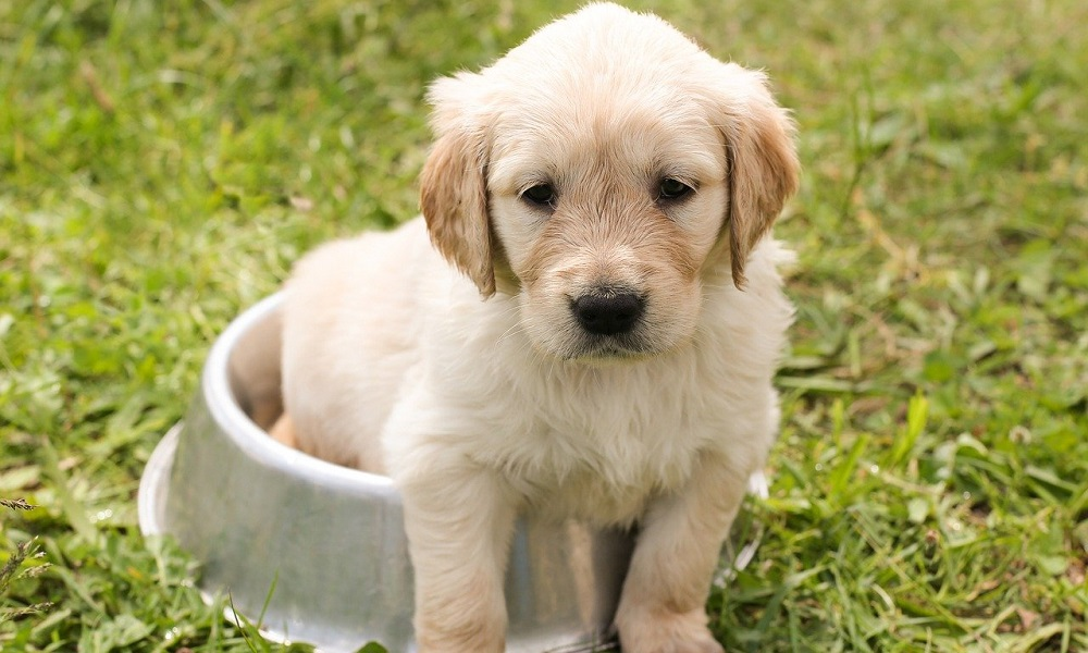 Can Puppies Eat Adult Dog Foods