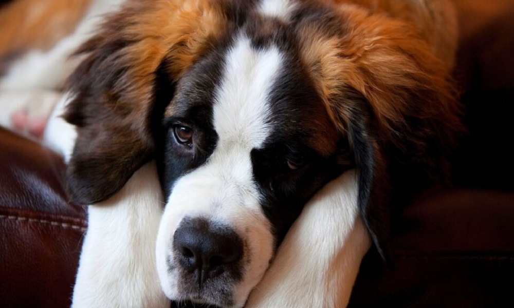 Treatment of Twisted Stomach in Dogs