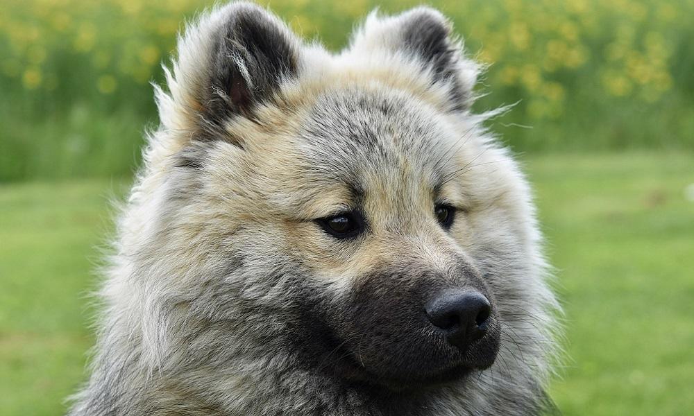 Blue Dog Breed