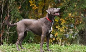 The Blue Lacy