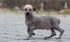 Ecuadorian Hairless Dog